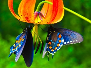 king_priamos_butterfly_images